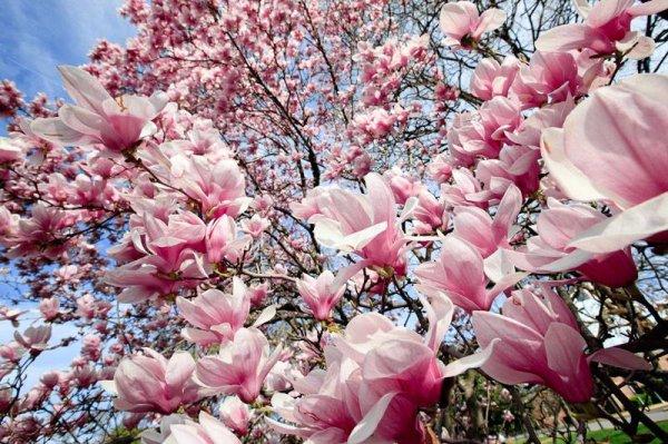 Fée Magnolia